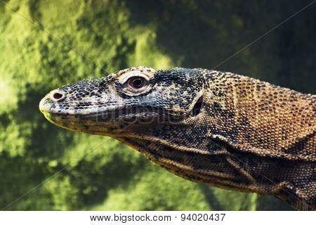 Komodo Dragon (varanus Komodoensis) Portrait