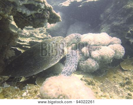Closed Up The Turtle In North Andaman, Thailand