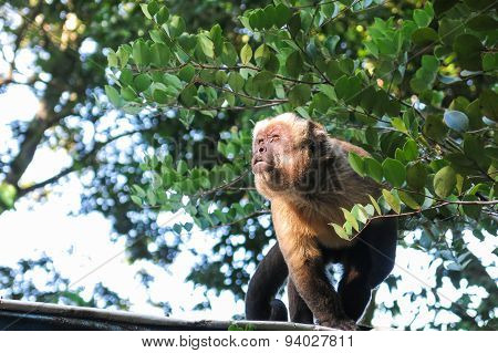 Gracile Capuchin Monkey. Bolivia