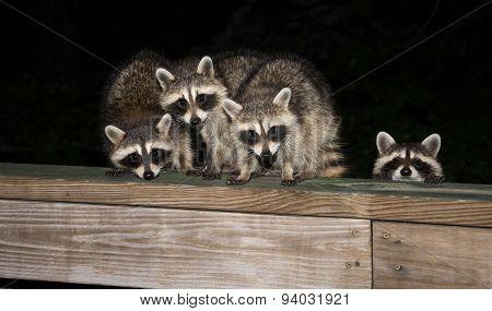 Four Cute Baby Raccoons On A Deck Railing