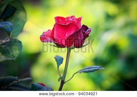 Nice abstract red rose flower