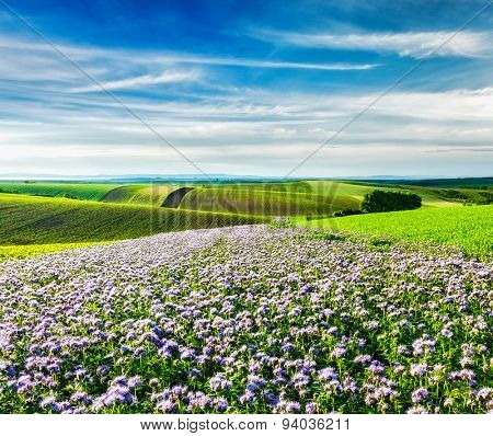 Rolling fields of Moravia, Czech Republic with purple flowers