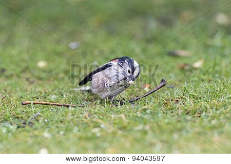 Long tailed tit