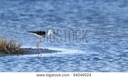 Black-winged Stilt Bird In Pottuvil, Sri Lanka