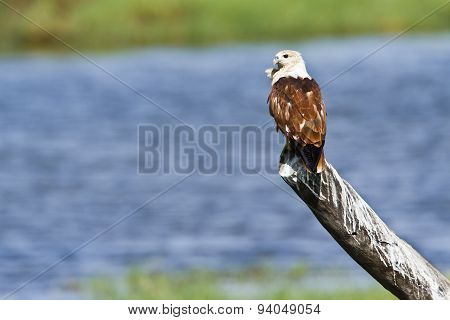Brahminy Kite In Pottuvil, Sri Lanka