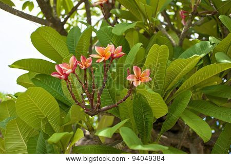 Luntom Or Plumeria Pink Flower With Green Leaves