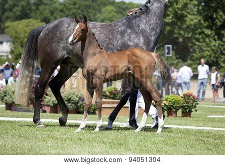 Holsteiner Foal Show