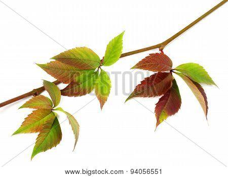 Multicolor Autumn Twig Of Grapes Leaves, Parthenocissus Quinquefolia Foliage