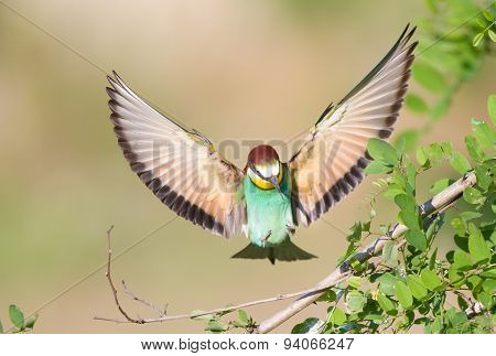 Bee-eater With Spread Wings