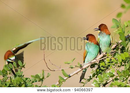 Bee-eater Couple With Third One