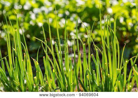 Green Chive Growing In Garden