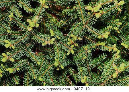 Spruce spherical