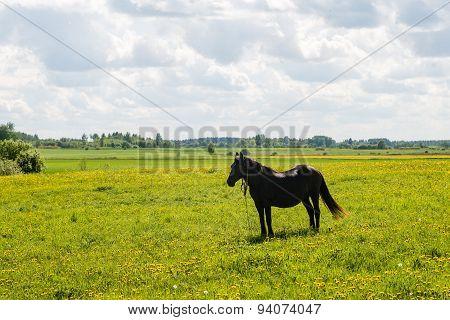 Black Horse Resting In The Meadow Near Farm