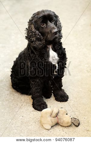 Black English Cocker Spaniel With Toy