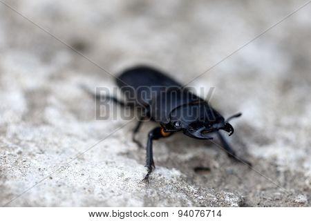 Black Stag Beetle Closeup