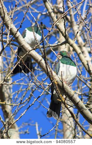 Pair Of Kereru In Winter Garden