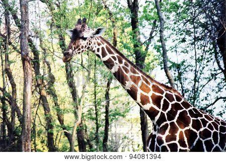 New Orleans Giraffe 2002
