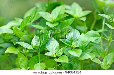 Fresh Basil - fresh leaves of Basil