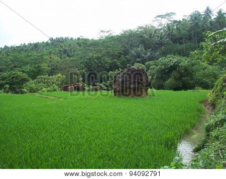 Indonesia green paddy field 2