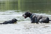 image of great dane  - Black Great Dane and a small black dog are playing in the water - JPG