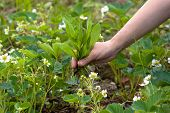 picture of weed  - hands weeding the strawberries in the garden - JPG