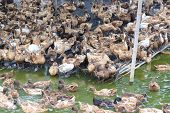 picture of marshes  - Duck in farm eat and swimming in marsh - JPG