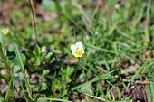 stock photo of small-flower  - Pansy flower small yellow flowers in spring - JPG