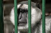 stock photo of caged  - Gray langur head behind zoo cage bars - JPG