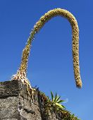 picture of bird paradise  - Bird of Paradise flower in the island Madeira - JPG