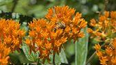 picture of weed  - Orange Wildflowers - JPG