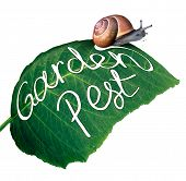 stock photo of pest control  - Garden pest symbol and gardening problem as a snail eating and destroying a green leaf with an eaten chewed hole with a message of pests in agriculture and vermin destruction to plants - JPG