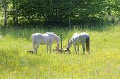 foto of buttercup  - Two white horses in the meadow full of yellow buttercup flowers - JPG