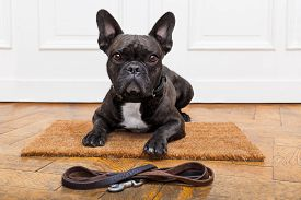 foto of bulldog  - french bulldog dog waiting and begging to go for a walk with owner sitting or lying on doormat - JPG