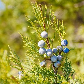 stock photo of juniper-tree  - Juniper with berries in the warm rays of the sun - JPG