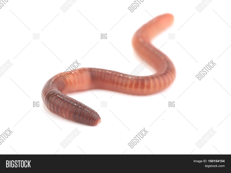 kolchatie-chervi-germafroditi