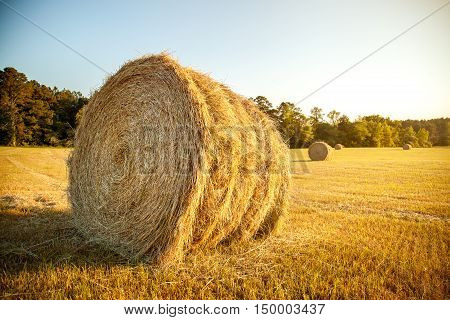 Stacks of straw - bales of hay rolled into stacks left after harvesting of wheat ears agricultural farm field with gathered crops rural.
