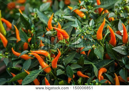 Small ripe orange chili peppers. Autumn harvest background