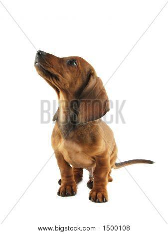 Cachorro Dachshund levantando