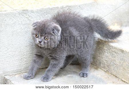 Little british shorthair kitten, close up photo