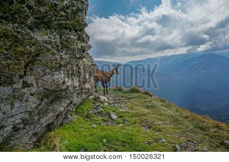 Chamois looks into the distance. The Tatra Mountains.