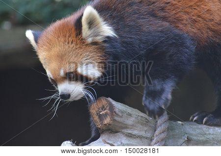Adorable lesser panda bear climbing over a plank.