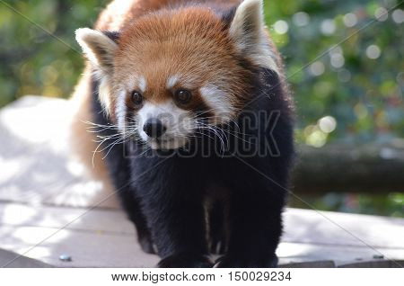 Beautiful curious face of a red panda bear.