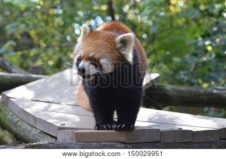 Cute red panda bear licking his lips.