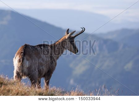Chamois in mountain environment. Tatra Mountains. Poland