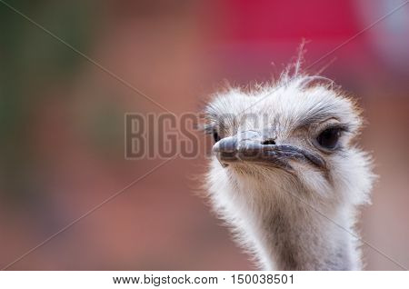 Close up of ostrich, with skeptical expression