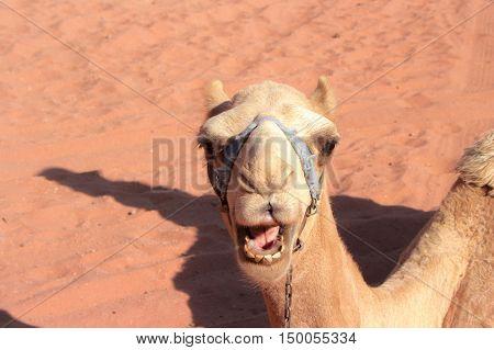 beautiful Smile for nice camel in wadi rum