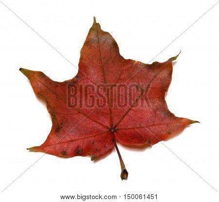 Dark Red Autumn Maple Leaf