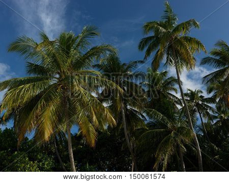 Paradise view of palm trees on a clear blue sky - I am pleased to paradise palm trees on a clear blue sky and palm trees glad to me in answer. Maldives.
