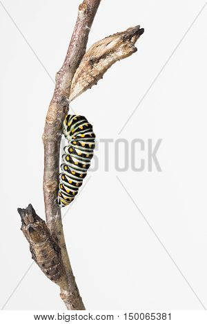 Close up of Swallowtail butterfly larva and 2 pupae on a branch.