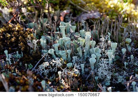 Beautiful white and colorful moss and lichen in the summer forest. Natural background